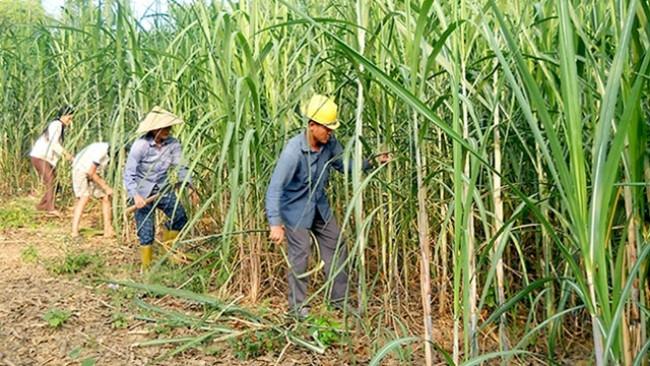 Cần có giải pháp tổng thể phát triển ngành mía đường. (Ảnh minh họa)