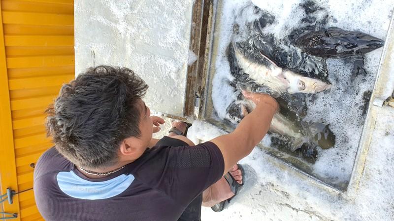Hải quan sẽ xử nghiêm vi phạm nhập khẩu cá tầm