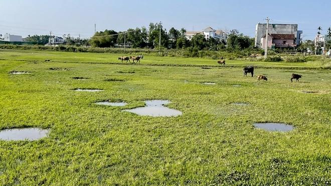 Dự án khu dân cư Nam Bàu Giang, huyện Tư Nghĩa thành bãi chăn thả trâu bò (Hình: Minh Hoàng/zingnews.vn)