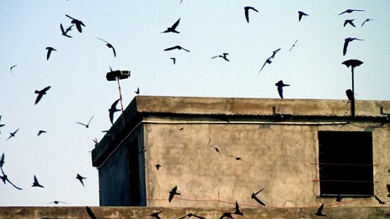 Từ 20/4: Phát âm thanh quá ồn để dẫn dụ chim yến sẽ bị phạt