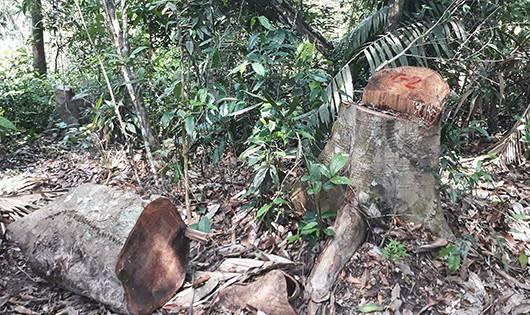 Cửa rừng bị đóng nhưng Nghệ An vẫn xảy ra nhiều vụ phá rừng nghiêm trọng.