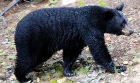 Bị gấu rừng tấn công giữa ban ngày, trai bản giả chết vẫn trọng thương