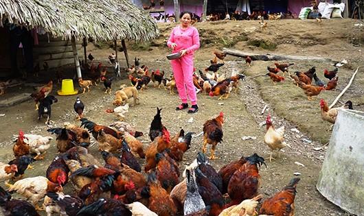 Trang trại gà của chị Huyền là một mô hình lớn của địa phương đem lại hiệu quả kinh tế cao.
