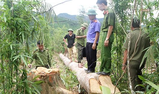 Hiện trường lực lượng chức năng phát hiện nhiều cây gỗ lớn bị chặt hạ.