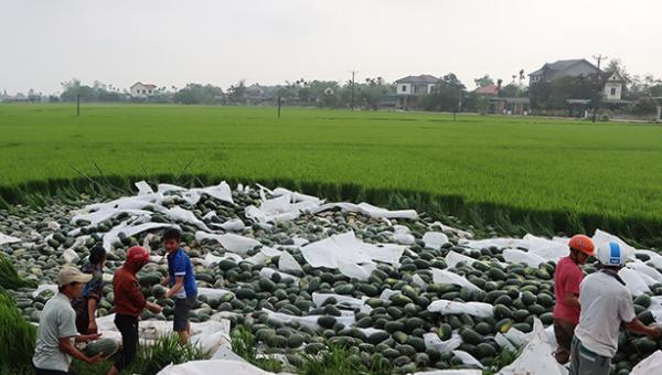 29 tấn dưa hấu tràn xuống ruộng.
