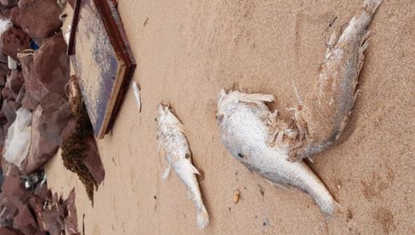 Cá chết bất thường dạt vào bãi biển xã Nghi Thiết chưa rõ nguyên nhân.
