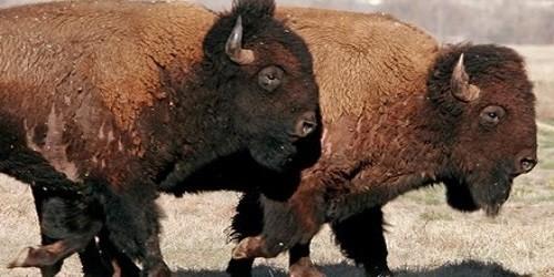 """Liều mạng chụp ảnh """"tự sướng"""" với bò rừng"""