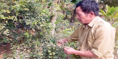 Ông Đặng ra vườn nhà chỉ cho phóng viên những lá thuốc dùng để cứu người khỏi độc rắn.