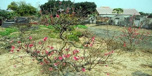Vườn đào ở thôn La Cả (phường Dương Nội, quận Hà Đông, Hà Nội).