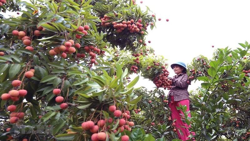 Bắc Giang đang thu hoạch vài đầu mùa (từ 15/5-10/6/2020)