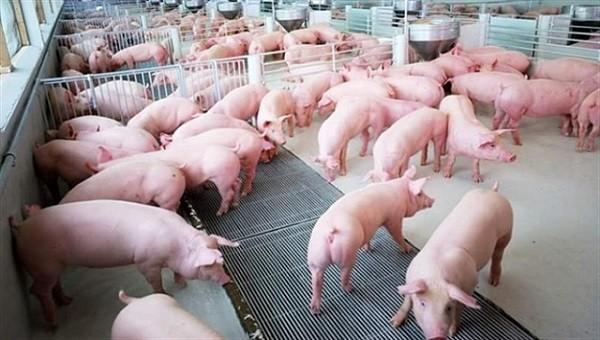 22 địa phương có tỷ lệ lợn tái đàn thấp, Bộ Nông nghiệp đề nghị có giải pháp tối ưu
