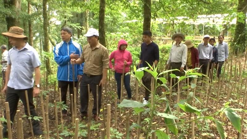 Lãnh đạo tỉnh Quảng Nam thăm vườn sâm Ngọc Linh tại huyện Nam Trà My.