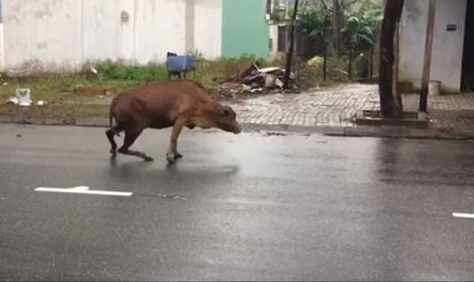 Nữ cán bộ y tế bị bò tông trọng thương trên đường phố