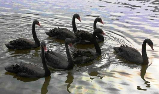 Bầy thiên nga đen có bảy con tại hồ Hoàn Kiếm. (Ảnh: Thành Đạt/TTXVN)
