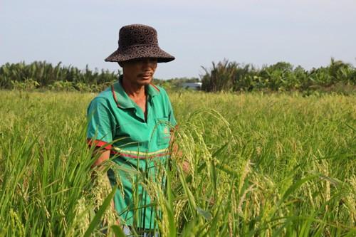 Ruộng lúa lên bông trở lại sau khi anh Tuấn bán bông lúa non. Ảnh: Hoàng Nam