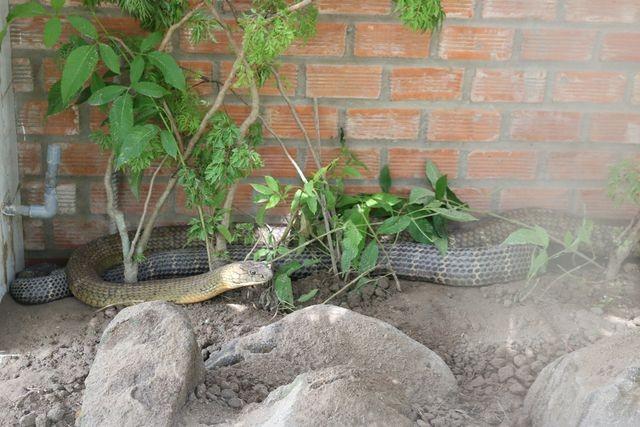 Bắt được cặp rắn hổ mây khủng nặng 60kg, dài 7m trên núi Cấm - 3