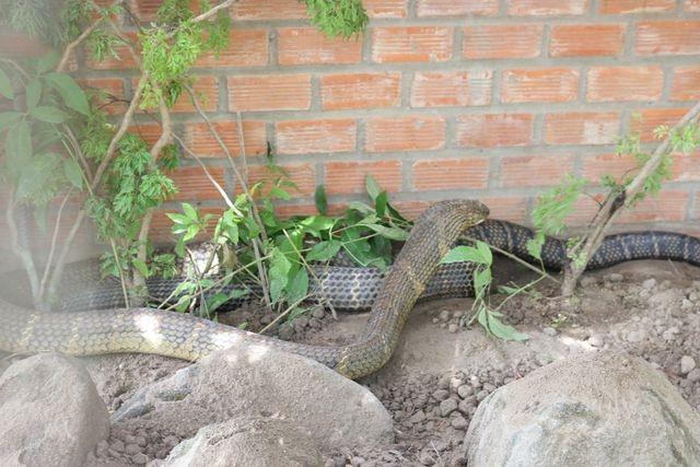 Bắt được cặp rắn hổ mây khủng nặng 60kg, dài 7m trên núi Cấm - 1