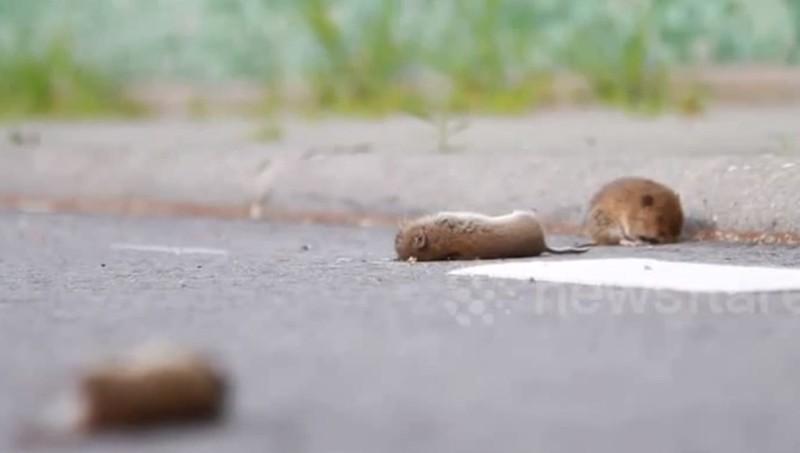 Hơn 500 con chuột nối đuôi nhau tự sát ở cống nước Hà Lan