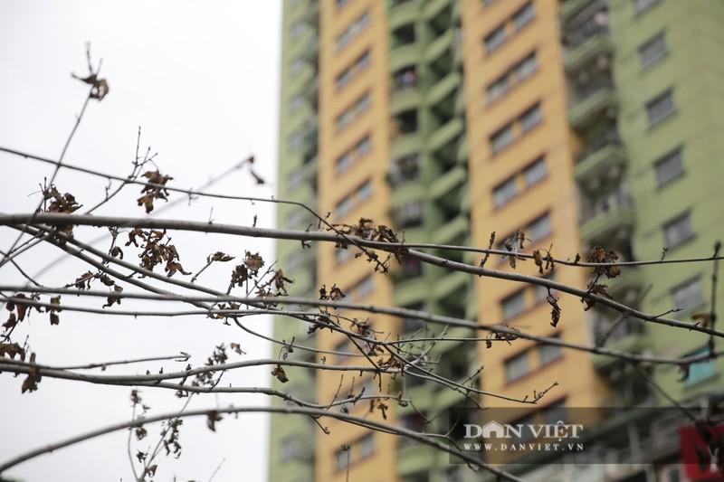 Xót xa nhìn hàng cây phong lá đỏ chết khô trên đường phố Hà Nội - Ảnh 10.