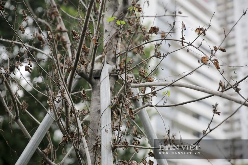 Xót xa nhìn hàng cây phong lá đỏ chết khô trên đường phố Hà Nội - Ảnh 11.