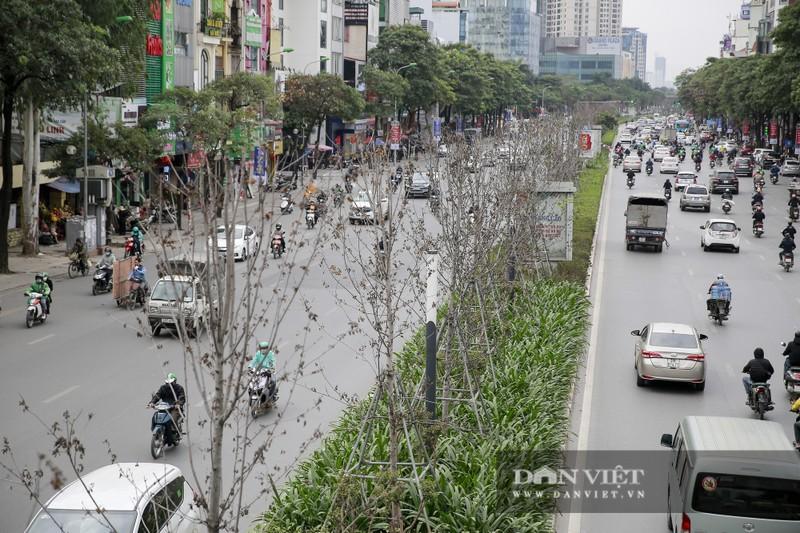 Xót xa nhìn hàng cây phong lá đỏ chết khô trên đường phố Hà Nội - Ảnh 1.