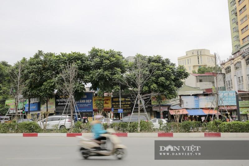Xót xa nhìn hàng cây phong lá đỏ chết khô trên đường phố Hà Nội - Ảnh 12.