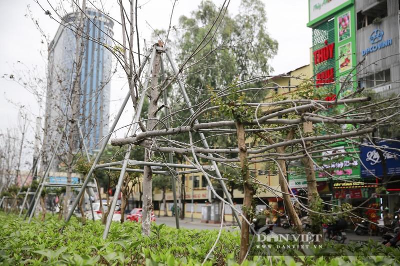Xót xa nhìn hàng cây phong lá đỏ chết khô trên đường phố Hà Nội - Ảnh 2.