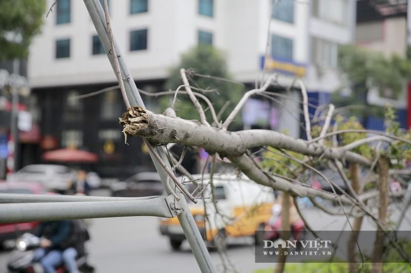 Xót xa nhìn hàng cây phong lá đỏ chết khô trên đường phố Hà Nội - Ảnh 3.
