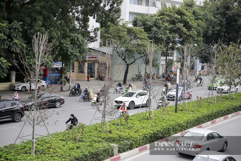 Xót xa nhìn hàng cây phong lá đỏ chết khô trên đường phố Hà Nội - Ảnh 4.