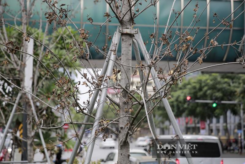 Xót xa nhìn hàng cây phong lá đỏ chết khô trên đường phố Hà Nội - Ảnh 6.