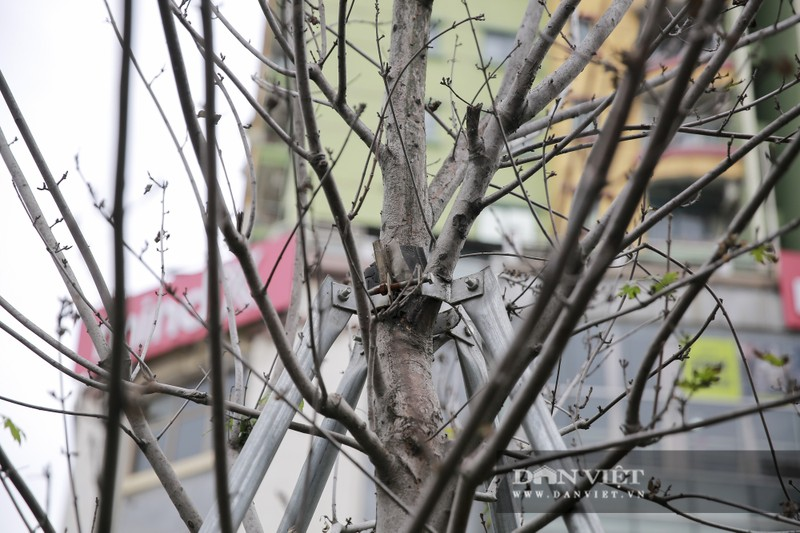Xót xa nhìn hàng cây phong lá đỏ chết khô trên đường phố Hà Nội - Ảnh 7.