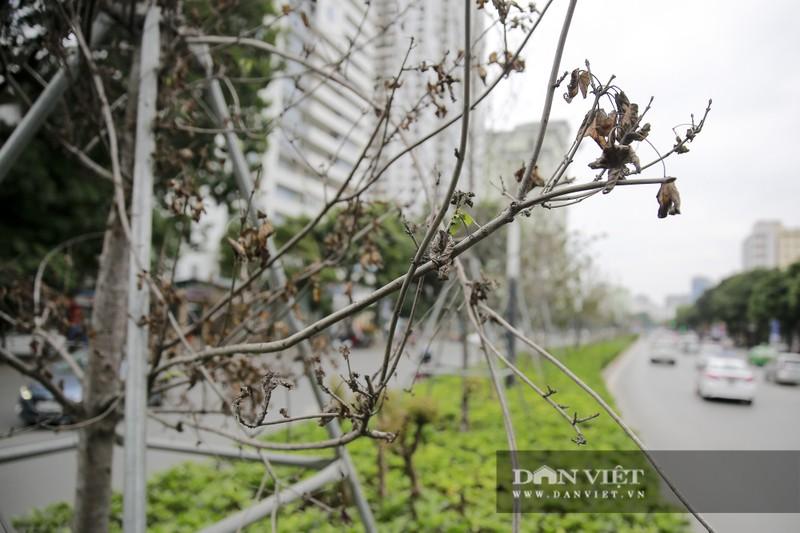 Xót xa nhìn hàng cây phong lá đỏ chết khô trên đường phố Hà Nội - Ảnh 9.