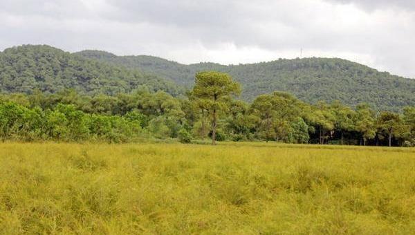 Cánh đồng rễ Côn Sơn đầy thơ mộng