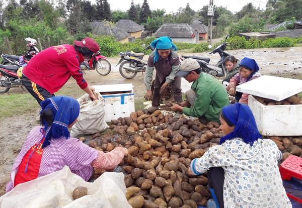 Sâm Fansipan – củ rừng đang trở thành đặc sản cho người dân Y Tý.