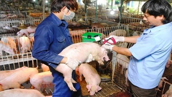 Quảng Ninh: Triển khai các biện pháp cấp bách để phòng chống bệnh lở mồm long móng