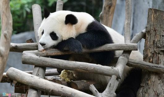 Công viên gấu trúc nổi tiếng ở Tứ Xuyên