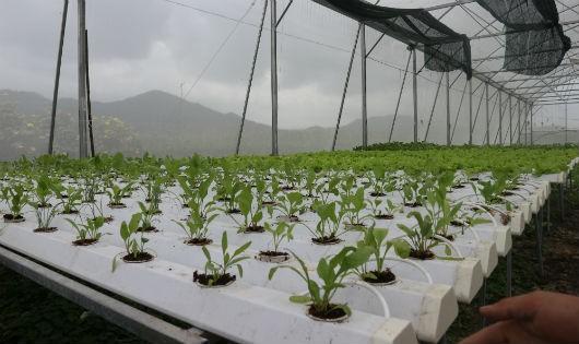 Cánh đồng trồng rau không cần… đất