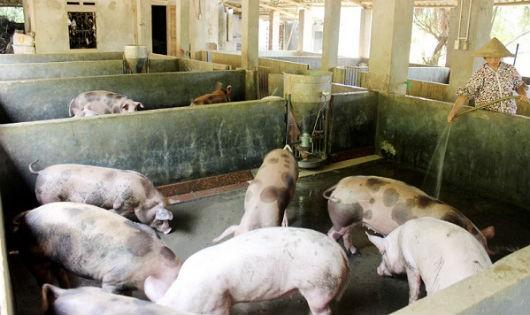 Bệnh dịch tả lợn Châu Phi là bệnh lây rất nguy hiểm cần phải được ngăn chặn để không bùng phát thành dịch bệnh tại Việt Nam
