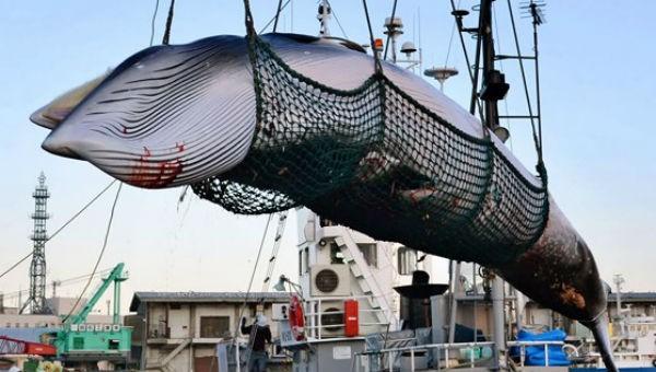 """Hạ màn kịch vụng 5000 tấn cá """"nghiên cứu khoa học""""/năm"""
