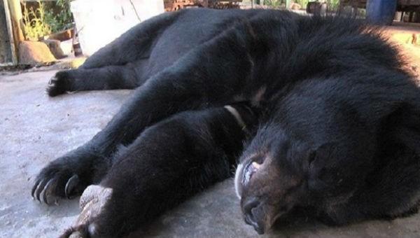 Nhiều cá thể gấu nuôi của hộ gia đình chết bất thường