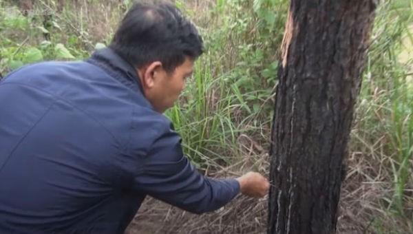 Rừng thông bị khoan lỗ rồi đổ thuốc diệt cỏ. Ảnh VTC