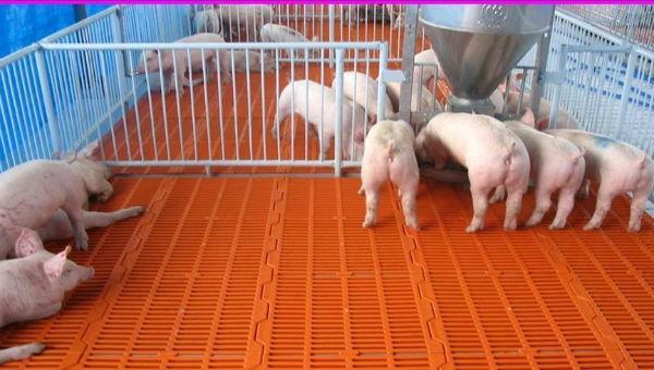 Đàn lợn được tiêm thử nghiệm vaccine vô hoạt phòng chống dịch tả lợn châu Phi vẫn khỏe mạnh