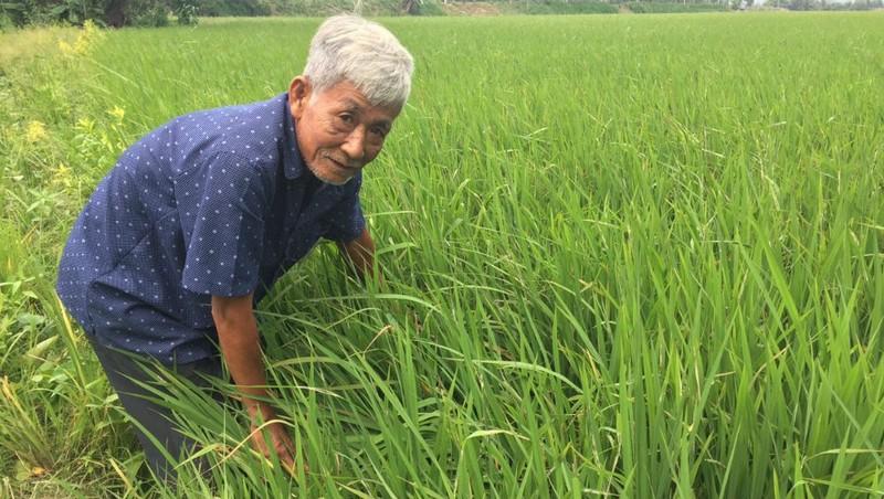 Ông Hương đã thuần chủng giống gạo có nguồn gốc ở vùng ngoài để phù hợp và thích ứng với thổ nhưỡng vùng biên