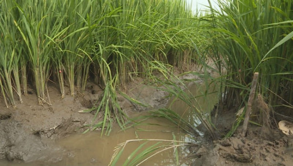 Khu vực ruộng lúa nơi phát hiện nạn nhân bị điện giật. Ảnh Thanh Niên