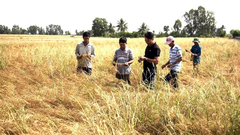 Một cánh đồng bị ảnh hưởng do hạn mặn.