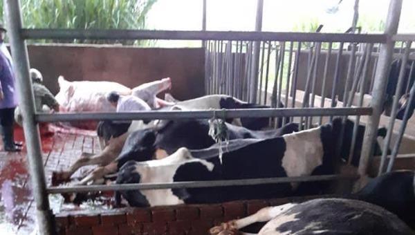 Sét đánh chết hàng chục con bò sữa đang ăn trong chuồng