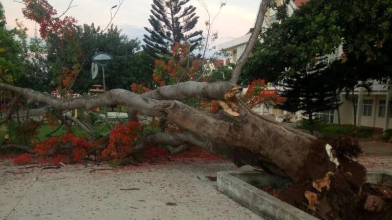 Thêm một cây phượng bật gốc trong sân trường