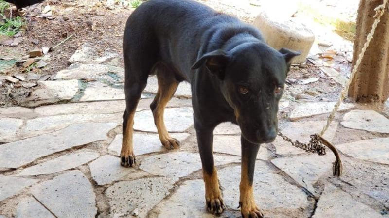 Chú chó lai của 1 gia đình nuôi gần khu vực người dân báo có báo đen xuất hiện.