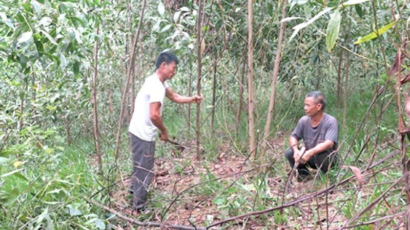"""Một khu vực xuất hiện bệnh """"chết héo"""" trên cây keo tại Tuyên Quang."""