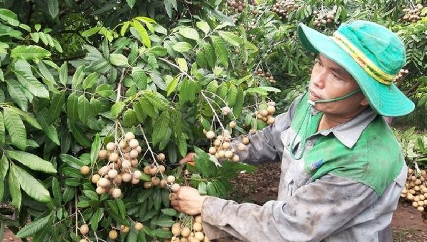 Trái cây Việt Nam có thể trở lại thị trường Mỹ.